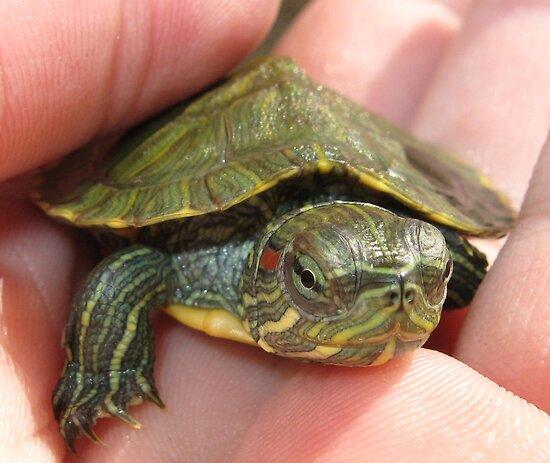 RedEared Slider Turtle  Animal Spot