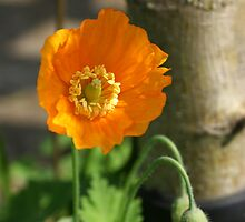 Orange Poppy I by shane22