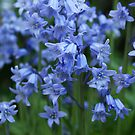 Bluebells III by shane22