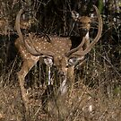 Spotted Deer In The Grass by Steve Bulford
