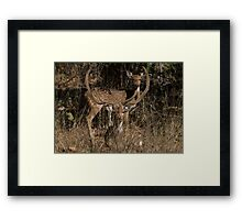 Spotted Deer In The Grass Framed Print