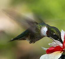 Ruby Throated Hummingbird by Jeremy  Jones