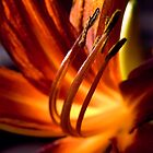 orange passion by Dorit