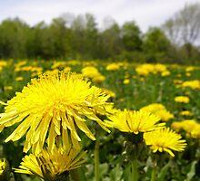 Dandelion In The Sun by marchello