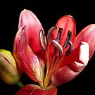 Lily! oh lily! by Magee
