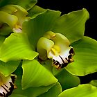 Green Orchid Macro by Swede