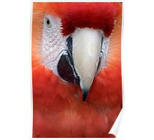 Scarlet Macaw Parrot, Ara macao Poster