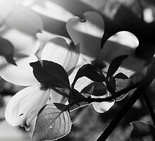 Spring Dogwood by cchughes