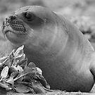 Female Southern Elephant Seal by Robert Elliott