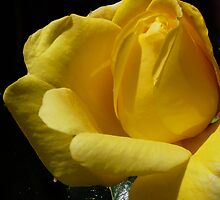 A Climbing Rose by DavidFrench