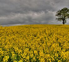Rapeseed by Tom  Bridge