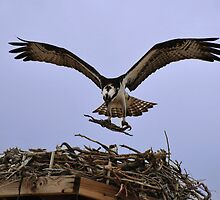 Osprey Nest Builders by Melissa  Hintz