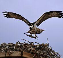 Osprey Nest Builders by Melissa  Hintz