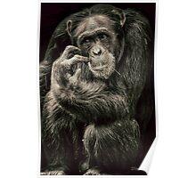 Chimpanzee (common) Pan troglodytes Poster