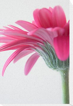 Pink Gerbera by AnnieD