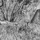 The Jungles Majestic - Cheetah (Acinonyx jubatus) by Deborah V Townsend