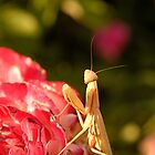 Praying Mantis by Andrew Maisel
