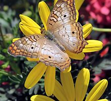 Brown Butterfly by Kathleen Brant