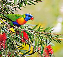 Rainbow Lorikeet by Peter Evans