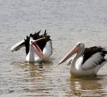 Australian Pelicans by Dave Law