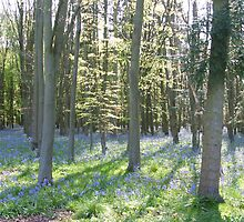 Bluebell Wood 2 by Edward Denyer