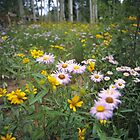 Wildflowers, Grand Mesa, Colorado by Brian Hendricks