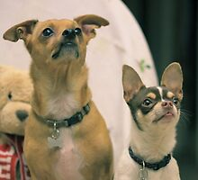 Cheweenie and chihuahua dogs by ritmoboxers