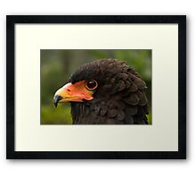Bateleur Eagle Framed Print