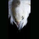 Pelican Dreaming by Kim Roper