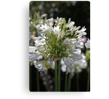 White Bright Agapanthus Canvas Print