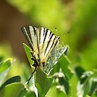 Lebanese Butterfly by vendetta