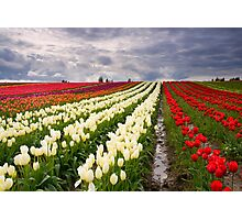 Storm over Tulips Photographic Print