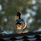 Wood Duck - Winter's Morning by Darren Post