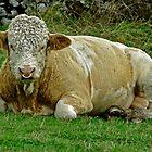 Bull Close-up, at Wardlow by Rod Johnson