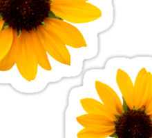 Sunflowers! Sticker