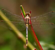 Dragon fly by sourav1985