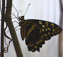 Butterfly Sihouette (Cuba) by jdmphotography