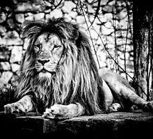 Lion 2 by Traven Milovich
