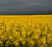 Oil Seed Rape Field by Ron Hindhaugh