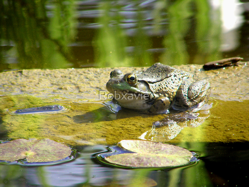 Lily Pad Frog by Robxavier