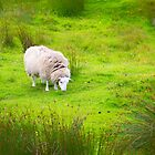 Sheep on the Isle of Skye by Walter Quirtmair