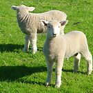 Mirroring Lambs by ardwork
