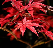 Kyoto Fall by ardwork