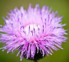 Texas Thistle by Charles Dobbs Photography