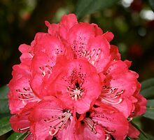 Red rhoddendron by Iani