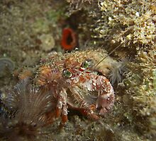 Decorator Crab (super shy) by Michael Powell