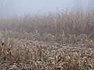 Corn in the Mist by MotherNature