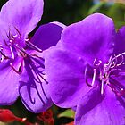 Purple Bougainvilleas by Peter Clements
