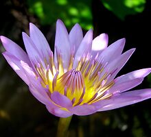 Lotus Flower by Nicholas Richardson