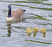 A Canada Goose And Her Goslings by AARDVARK